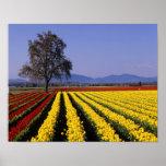 WA, Skagit Valley, Skagit Valley Tulip 2