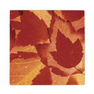 WA, Wenatchee National Forest, Maple leaf Maple Wood Coaster