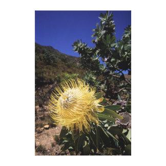 Waboom Protea (Protea Nitidia), Langeberg Canvas Print