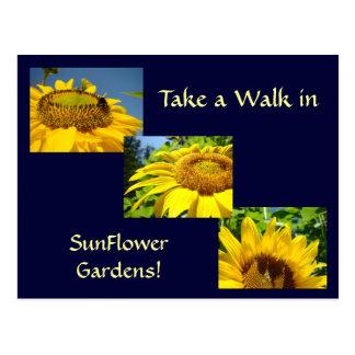 Walk in Sunflower Gardens Post Cards Sun Flowers