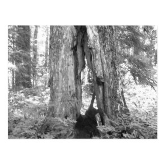 Walk Through Tree Postcard