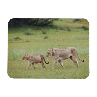 walking lioness with cubs, lion, Panthera leo, Magnet