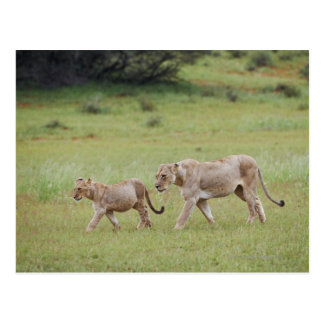walking lioness with cubs, lion, Panthera leo, Postcard
