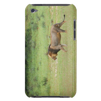 walking male lion, Panthera leo, Kgalagadi iPod Case-Mate Case