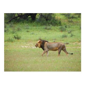 walking male lion, Panthera leo, Kgalagadi Postcard