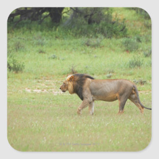 walking male lion, Panthera leo, Kgalagadi Square Sticker