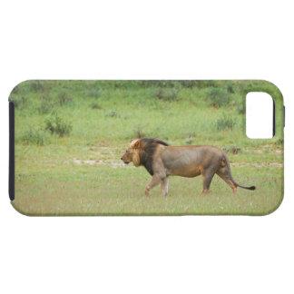 walking male lion, Panthera leo, Kgalagadi Tough iPhone 5 Case