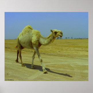 Walking the long road - camels on Failaka island Poster