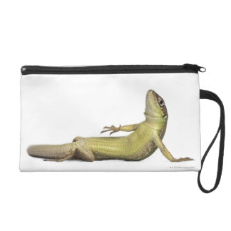 Wall lizard lying down - Podarcis muralis Wristlet