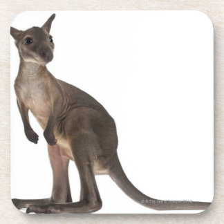 Wallaby - Macropus robustus (3 months old) Coaster
