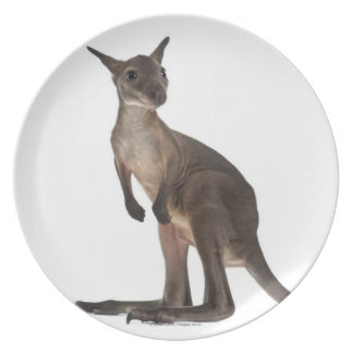 Wallaby - Macropus robustus (3 months old) Plate