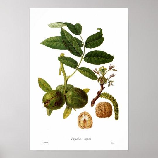 Walnut (Juglans regia) Poster