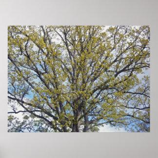 Walnut Tree Poster