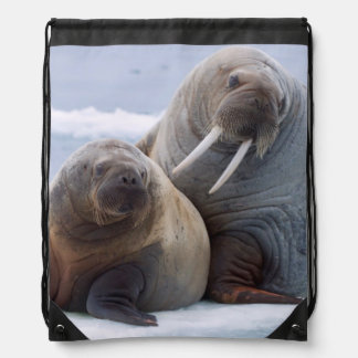 Walrus cow and calf rest on a sea ice floe backpacks