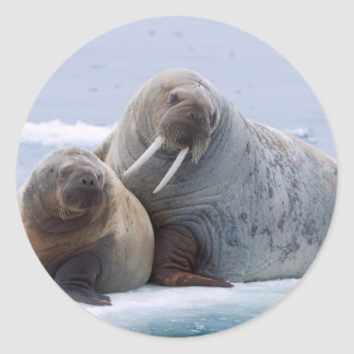 Walrus cow and calf rest on a sea ice floe classic round sticker