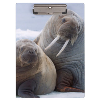 Walrus cow and calf rest on a sea ice floe clipboards