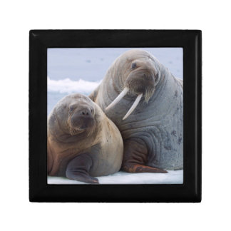Walrus cow and calf rest on a sea ice floe gift box