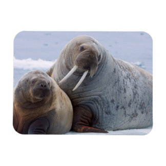 Walrus cow and calf rest on a sea ice floe magnet