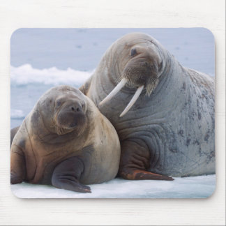 Walrus cow and calf rest on a sea ice floe mouse mat