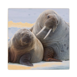 Walrus cow and calf rest on a sea ice floe wood coaster