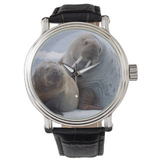 Walrus cow and calf rest on a sea ice floe wristwatch