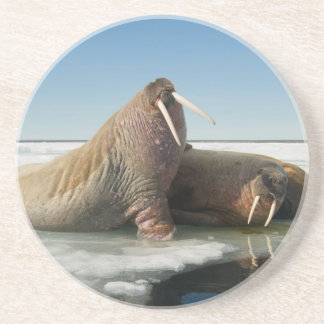 Walrus group rests on sea ice under a sunny sky coaster