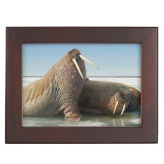 Walrus group rests on sea ice under a sunny sky keepsake box