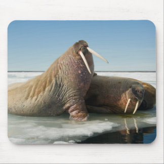 Walrus group rests on sea ice under a sunny sky mouse mat