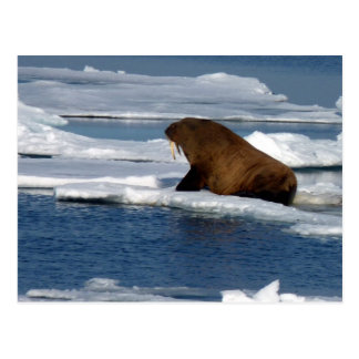 Walrus in the Arctic Ocean Postcard