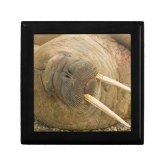 Walrus large bull resting on a beach gift box
