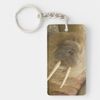 Walrus large bull resting on a beach key ring