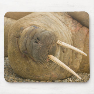 Walrus large bull resting on a beach mouse mat