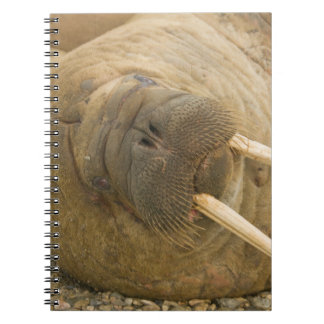 Walrus large bull resting on a beach notebook