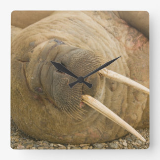 Walrus large bull resting on a beach square wall clock
