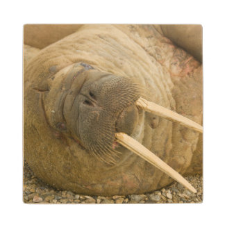 Walrus large bull resting on a beach wood coaster