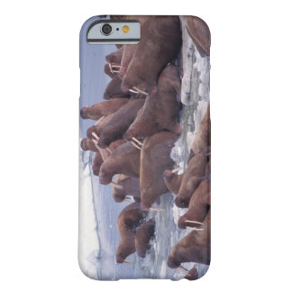 walrus, Odobenus rosmarus, on the pack ice of Barely There iPhone 6 Case