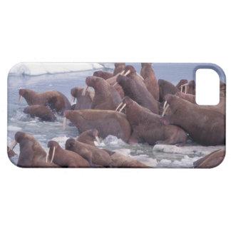 walrus, Odobenus rosmarus, on the pack ice of iPhone 5 Cases
