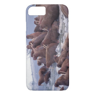 walrus, Odobenus rosmarus, on the pack ice of iPhone 8/7 Case