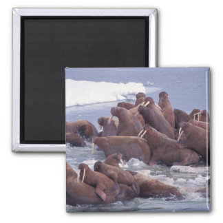 walrus, Odobenus rosmarus, on the pack ice of Magnet