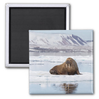 Walrus on a Piece of Ice Flow Magnet