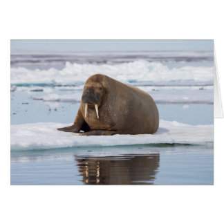 Walrus resting on ice, Norway Card