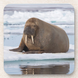 Walrus resting on ice, Norway Coaster