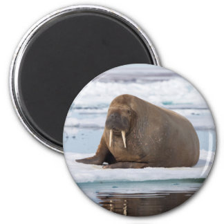 Walrus resting on ice, Norway Magnet