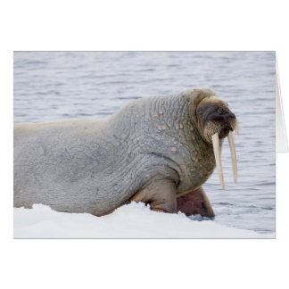 Walrus Resting on Pack Ice Card