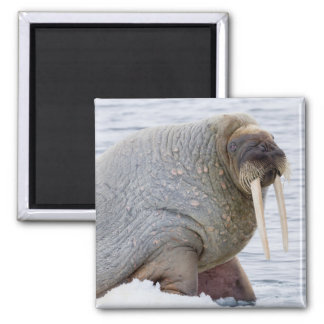 Walrus Resting on Pack Ice Magnet