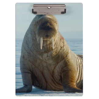 Walrus rests on summer sea ice clipboard