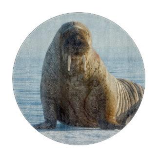 Walrus rests on summer sea ice cutting board