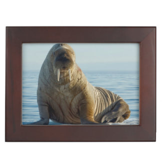 Walrus rests on summer sea ice keepsake box