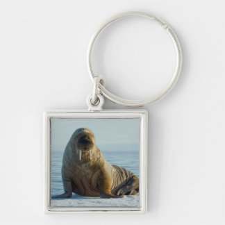 Walrus rests on summer sea ice key ring