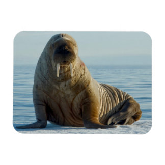 Walrus rests on summer sea ice magnet